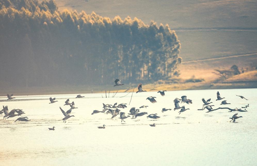 Spurwing Geese