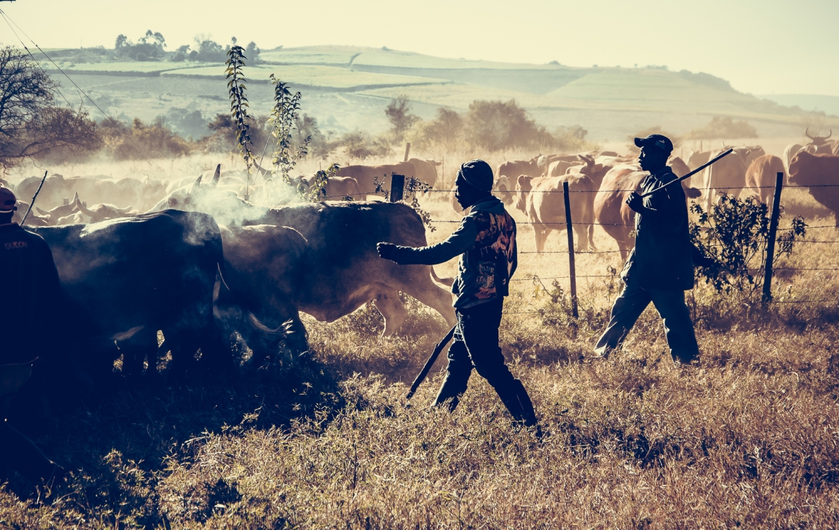 Farming Cattle