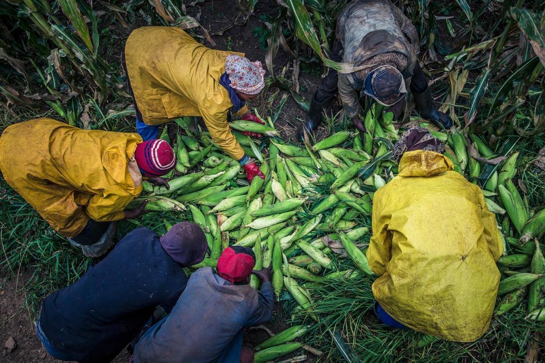 Green Maize