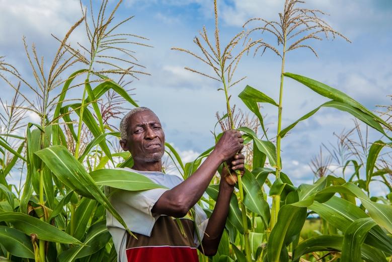 Smallholder maize crop