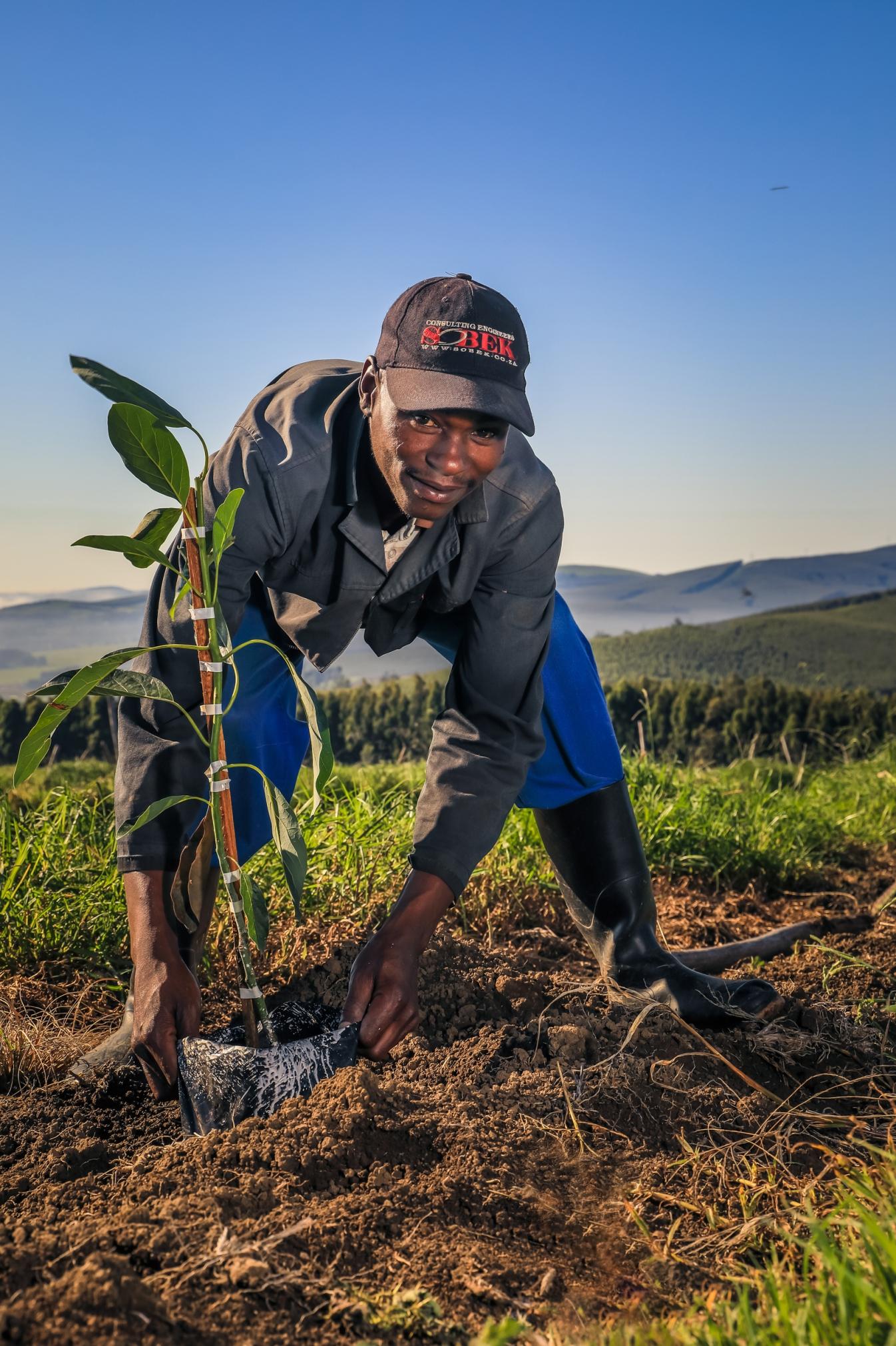 Avo Tree planting