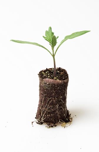 Ellepot Seedlings