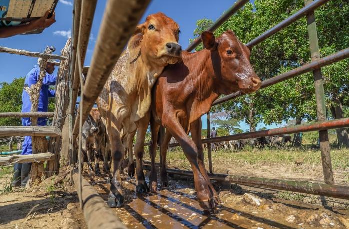 Dipping Program for cattle