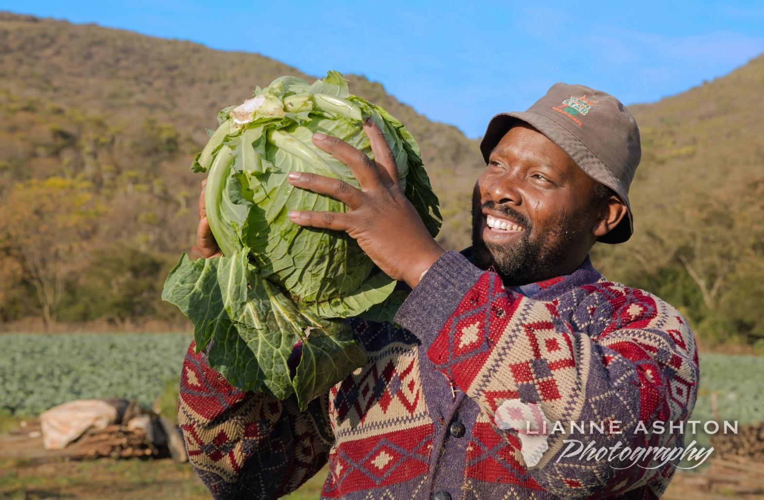Cabbage crop harvest in Ixopo