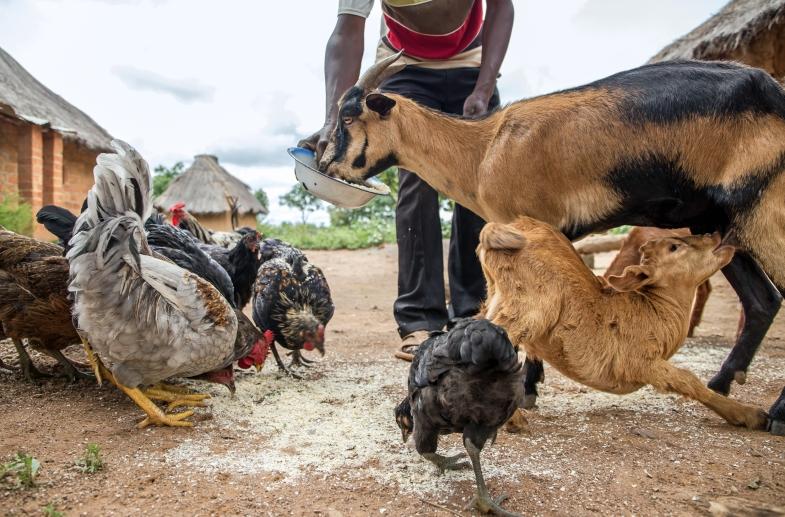 Smallholder farmer goats
