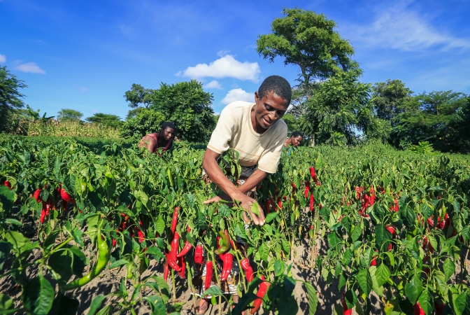 Smallholder woman farmer growing paprika