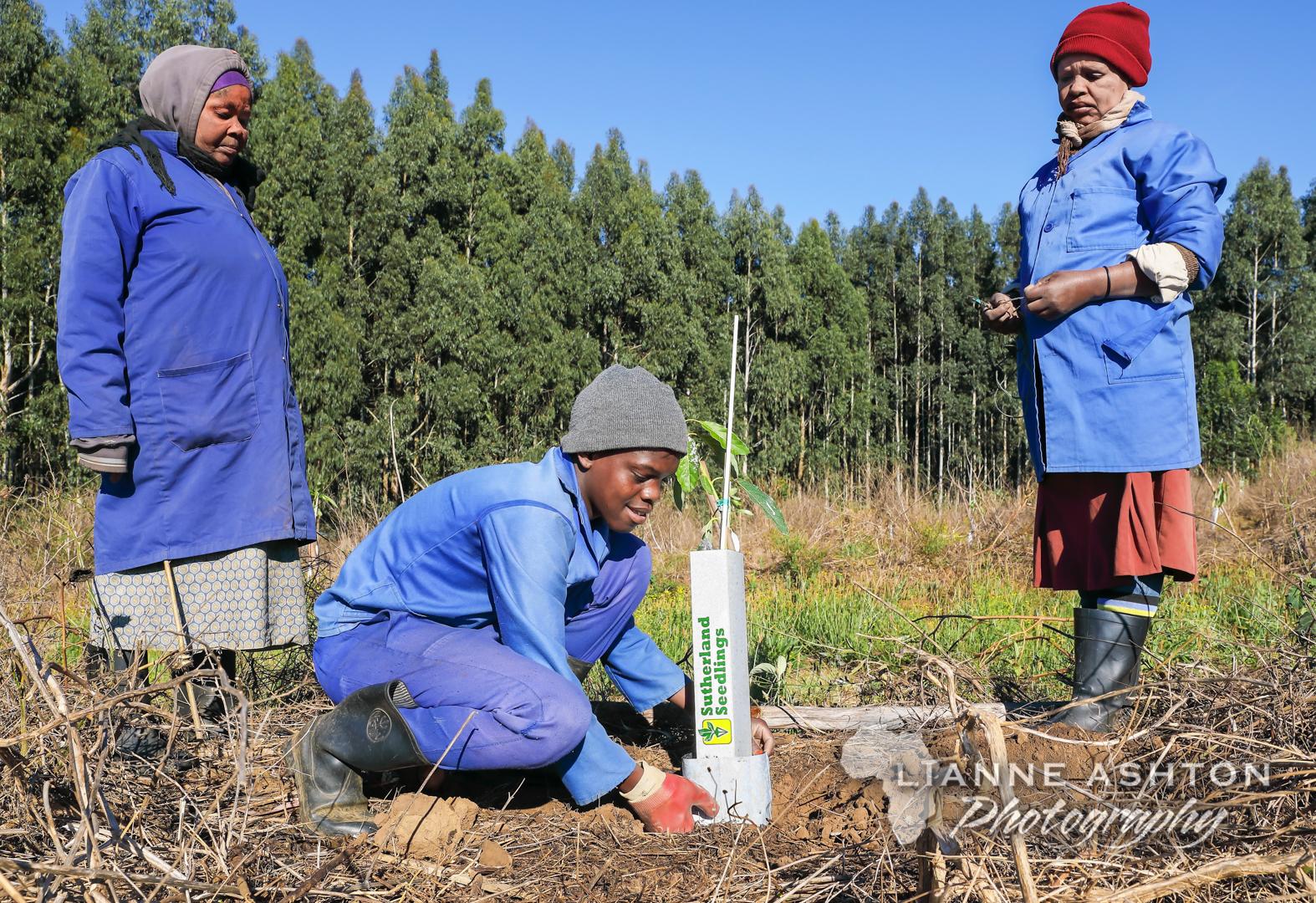 Planting Ellepot Avo trees (5)