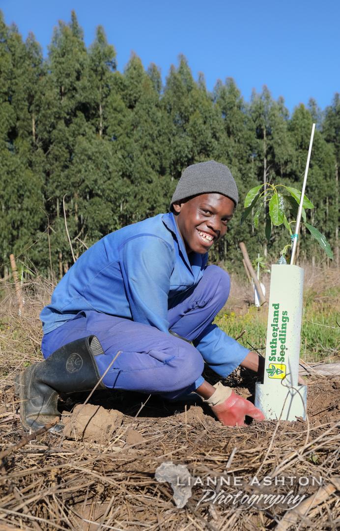 Planting Ellepot Avo trees (7)
