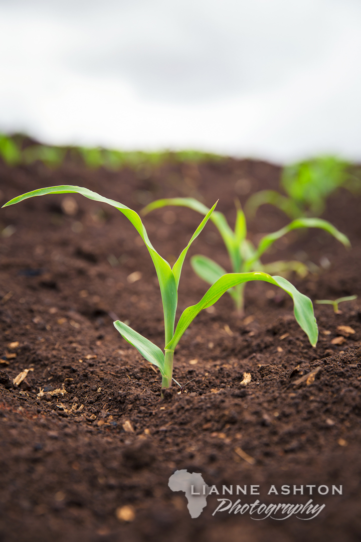Green maize seedlings