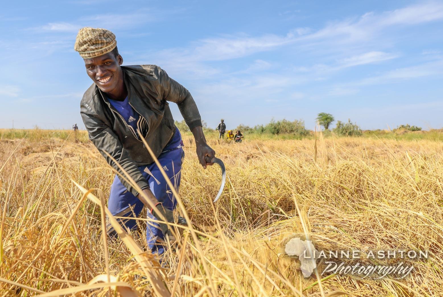 Harvesting rice in Senegal (1)