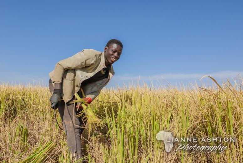 Harvesting rice in Senegal (2)