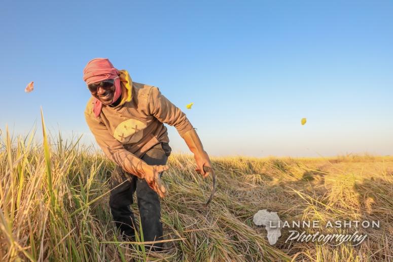 Harvesting rice in Senegal (3)
