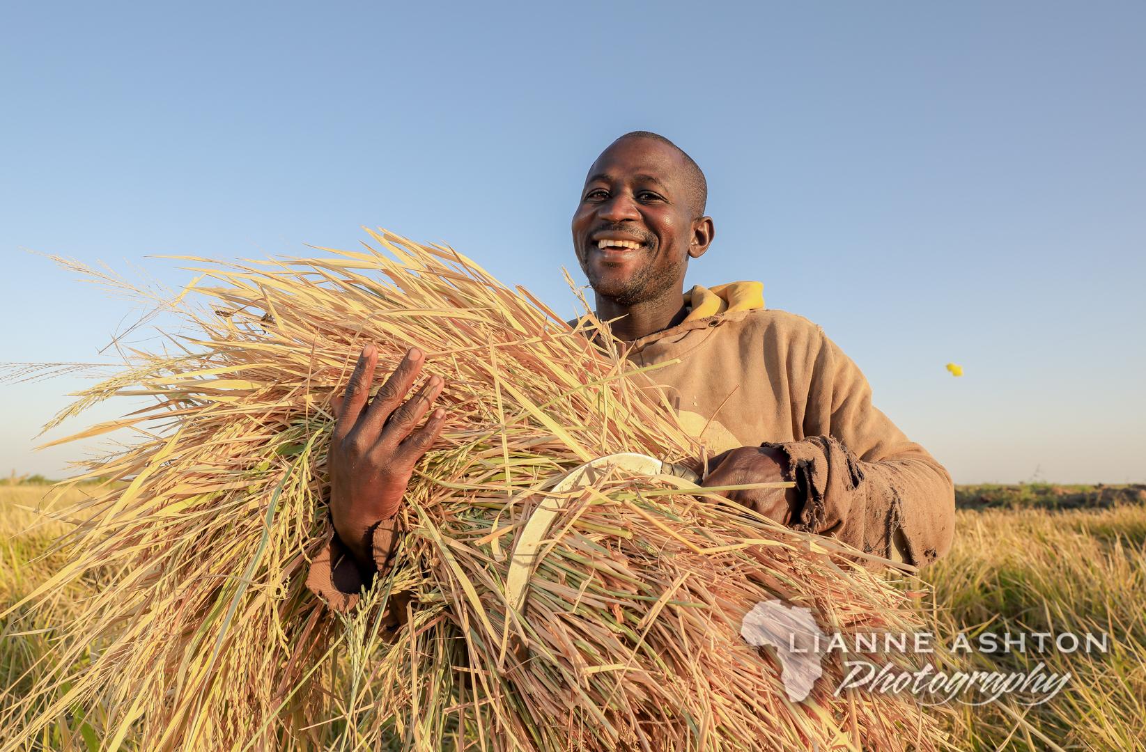 Harvesting rice in Senegal (4)