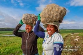Pulling potatoes (11)