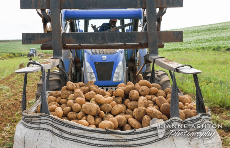 Pulling potatoes (22)