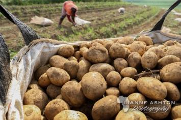 Pulling potatoes (7)
