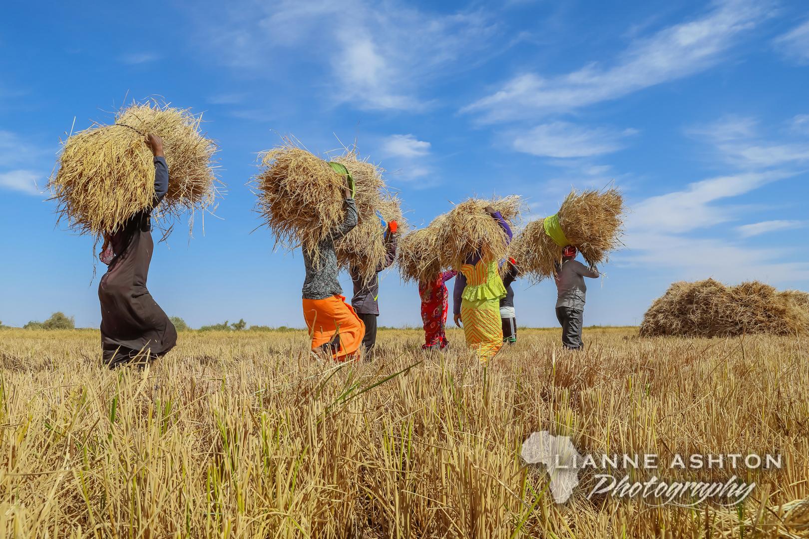Senegal Rice harvest (2)