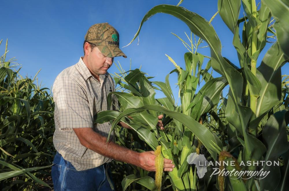 Maize crop (3)
