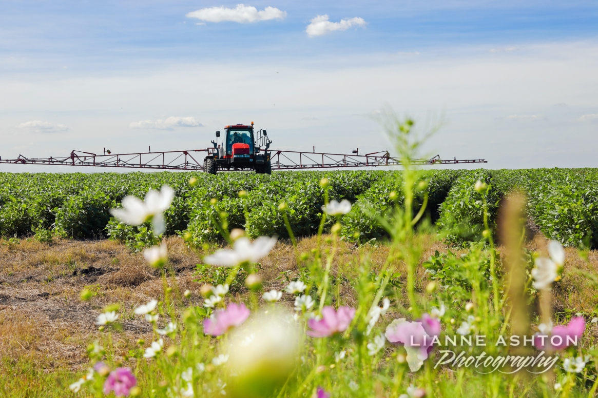 Soybeans crop (7)