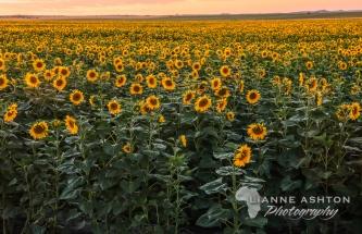 Sunflower crop (1)