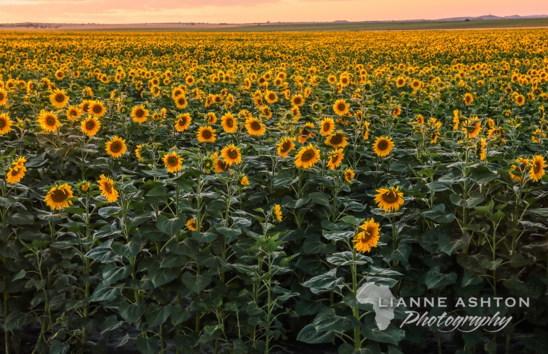 Sunflower crop (1)
