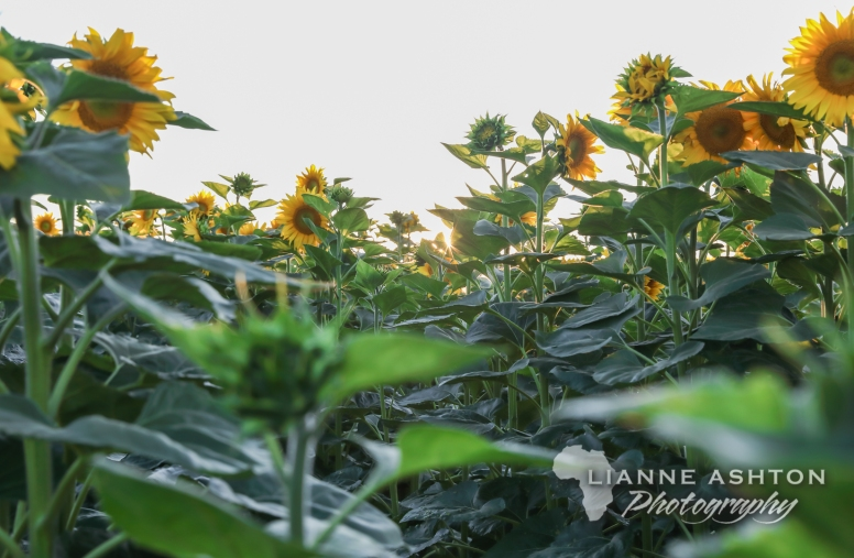 Sunflower crop (16)