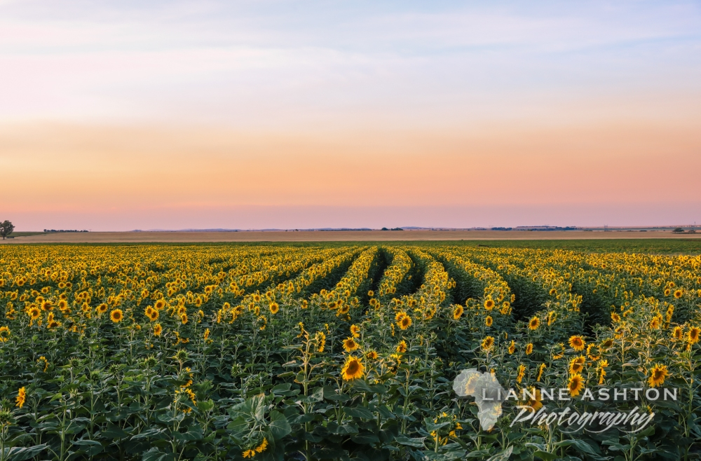 Sunflower crop (23)