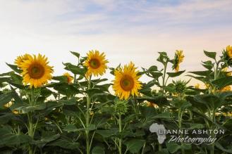 Sunflower crop (31)