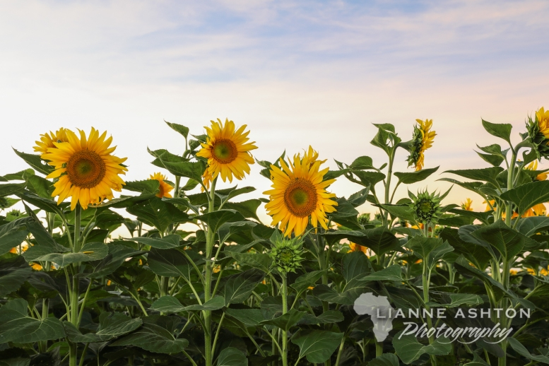 Sunflower crop (31)
