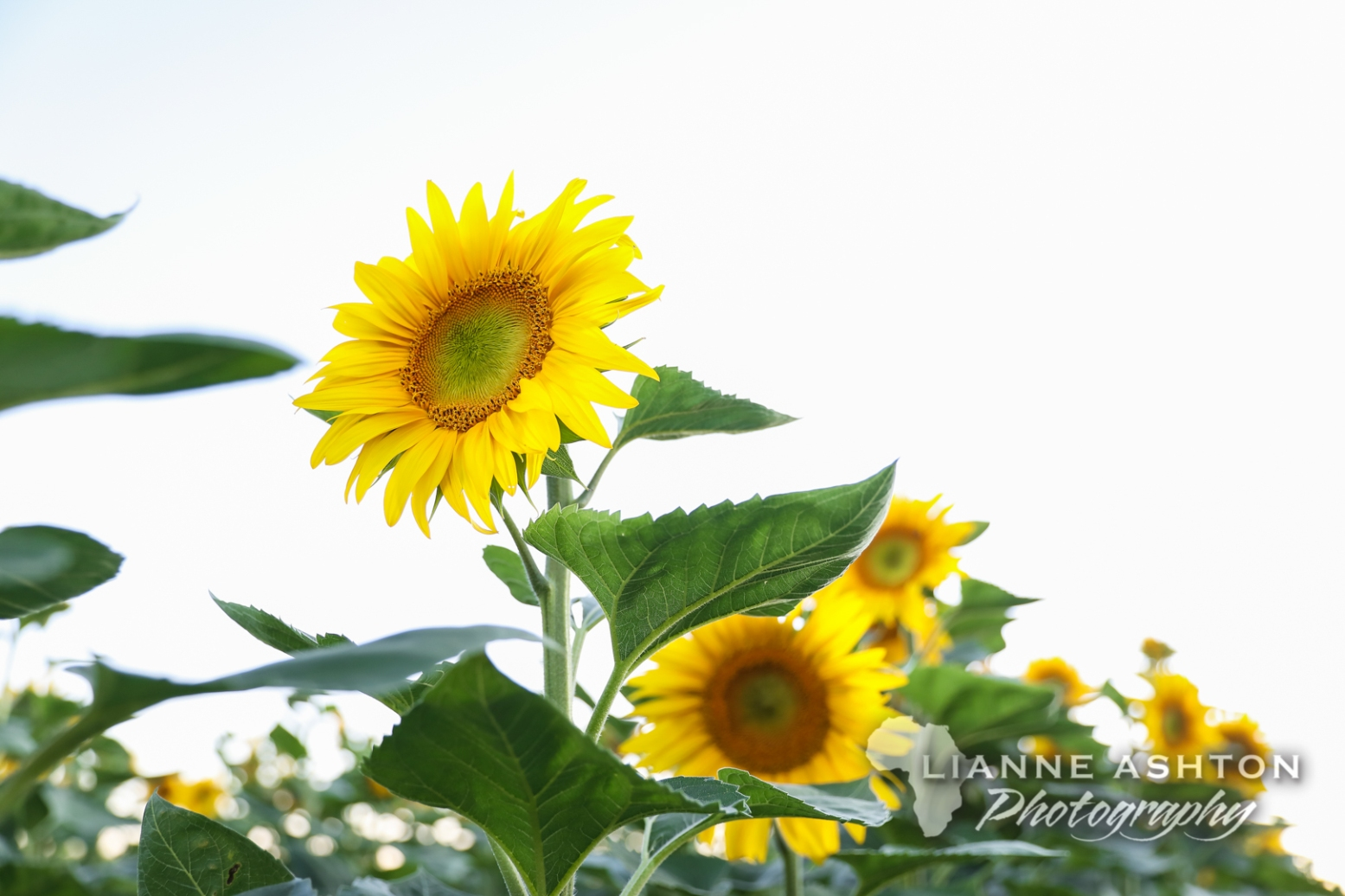 Sunflower crop (6)
