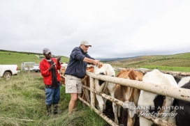Dipping heifers for red water