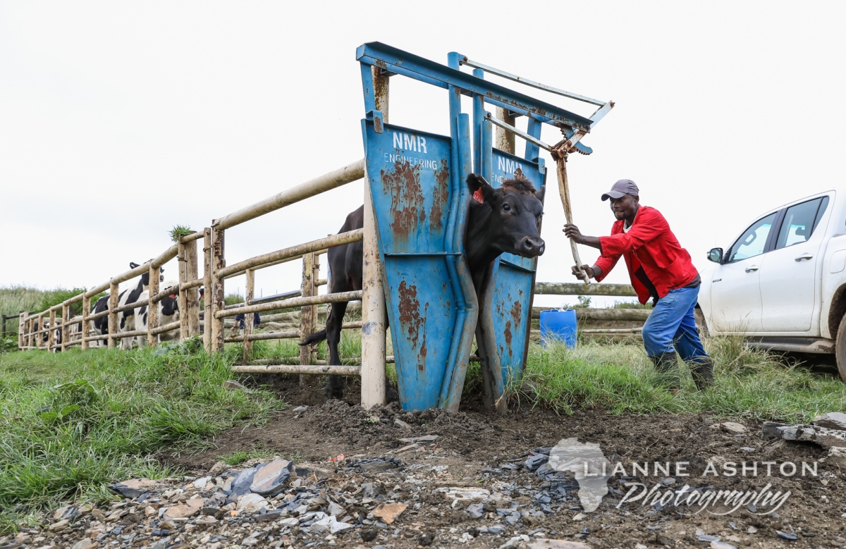 Dairy Documentary; A morning documenting farm operations on a dairyfarm