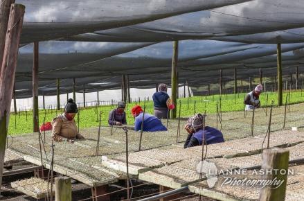 Sutherland Seedlings (4)