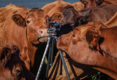 Expect the unexpected on an agricultural shoot. Never leave your tripod in the company of cows!
