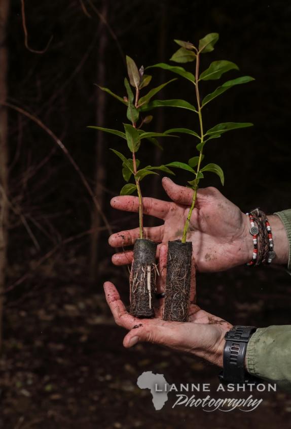 Ellepot root stock