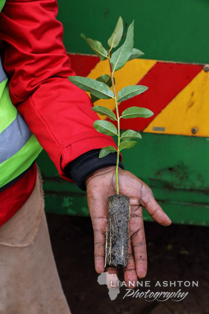 Ellepot Eucalyptus root stock