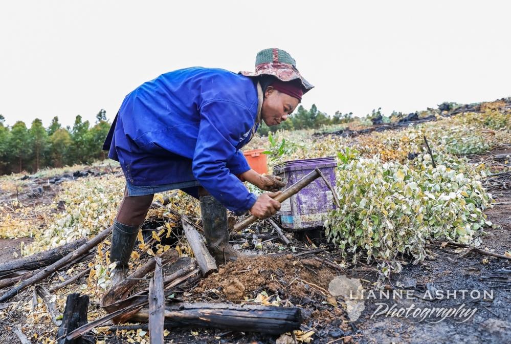 Planting Ellepot seedlings (2)