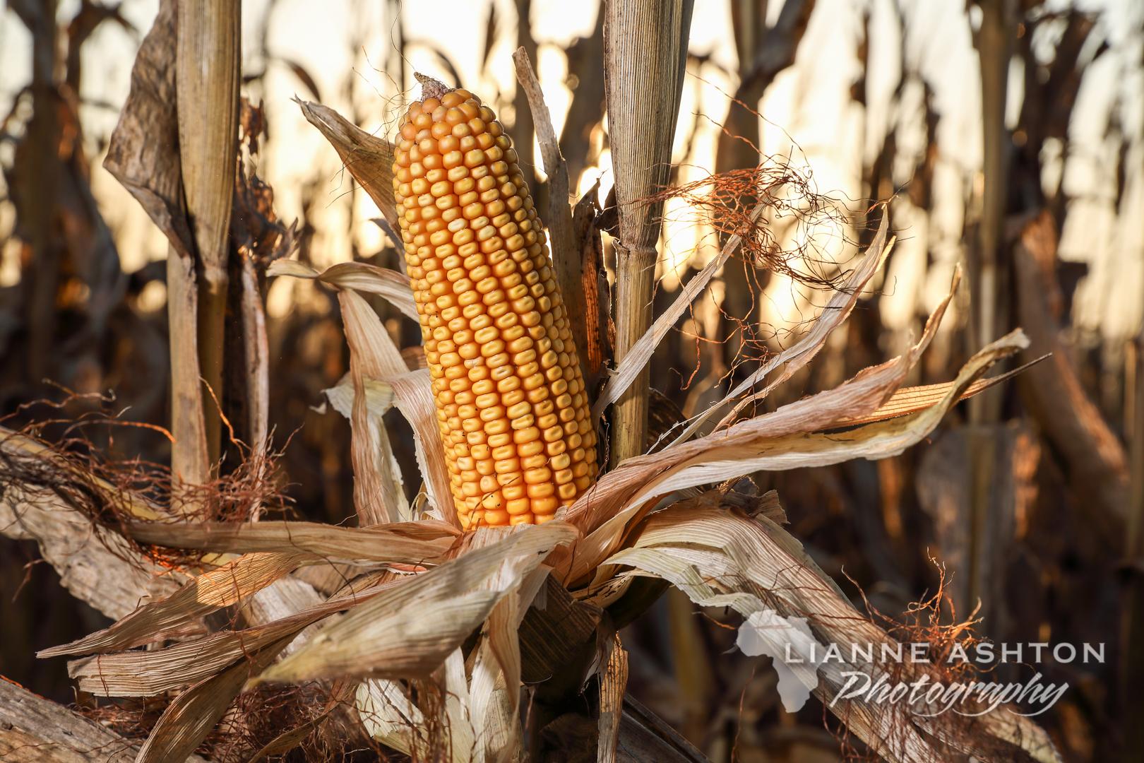 Maize harvest (82)