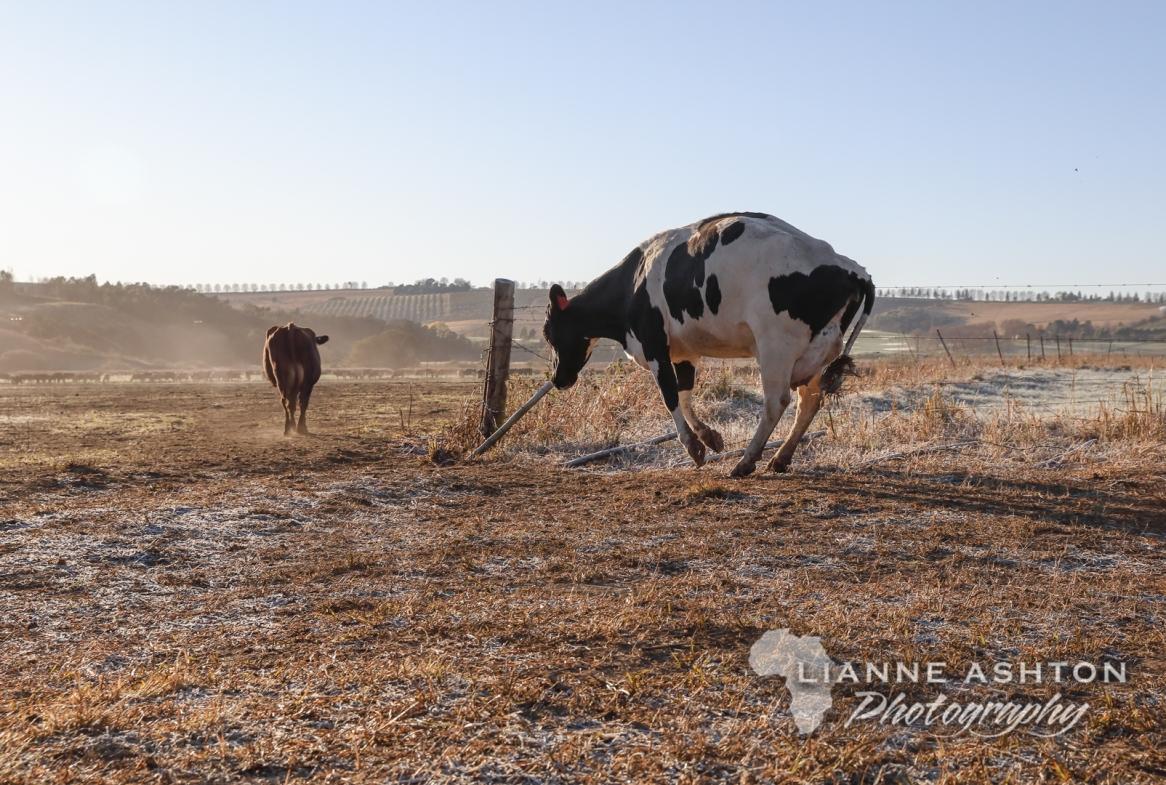 Radish happy cows!