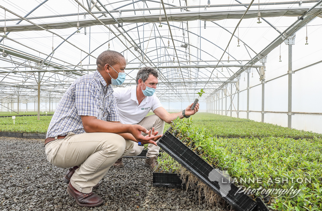 Ellepot South Africa: Sappi planting EllepotSeedlings